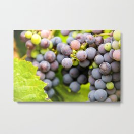 Red Grapes Bunched On The Vine Metal Print