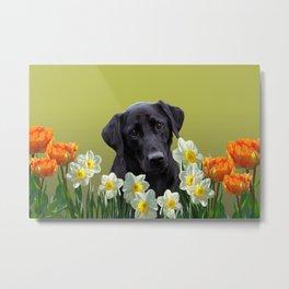 White daffodils with Labrador retriever Metal Print