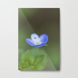 """Blue wildflower """"Veronica chamaedrys"""" Metal Print"""