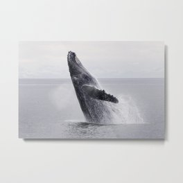 A Humpback Whale breaches from the calm waters of Frederick Sound at sunset, Inside Passage, Alaska  Metal Print