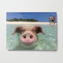 swimming pig Metal Print