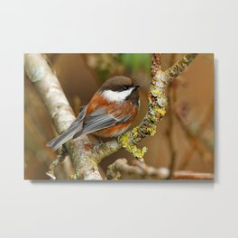 Chestnut-Backed Chickadee in the Cherry Tree Metal Print