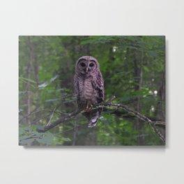 Juvenile Barred Owl Metal Print