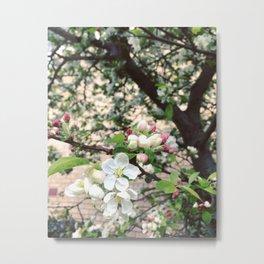 Crab-Apple Blossom Metal Print