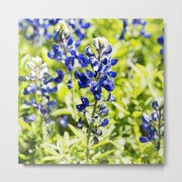 Texas Bluebonnet Up Close Metal Print