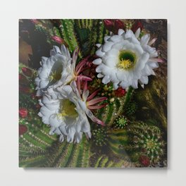 White Argentine_Giant_Cacti in Bloom Metal Print