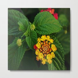 Red and Yellow Lantana Flower and Green Leaves Metal Print