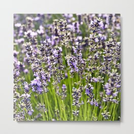 French Blue Lavender Metal Print