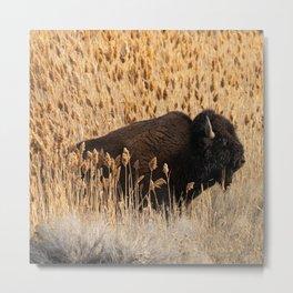 Bison - Antelope Island, Great Salt Lake, Utah Metal Print