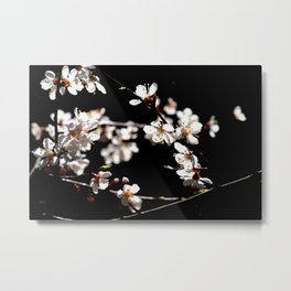 Marvelous Japanese Apricot Flowers. Play Of Light And Shadows. Black Background Metal Print