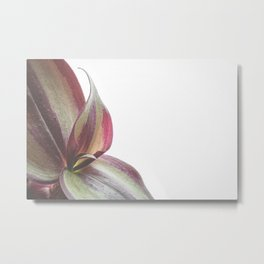 Close-up of a purple green leaf on a white background Metal Print