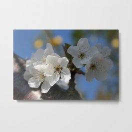 Close Up Of White Cherry Blossom Flowers Metal Print