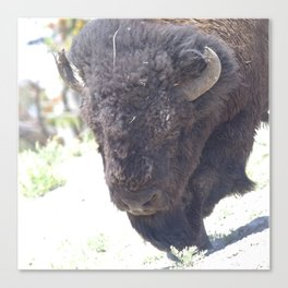 Watercolor Bison Bull 22, Yellowstone, WY Canvas Print