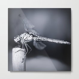 Dragonfly insect resting on dried bamboo stick blue monochrome toned image taken in macro Metal Print