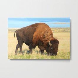 Antelope Island Bison Metal Print