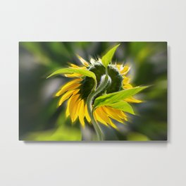 The sunflower from behind Metal Print