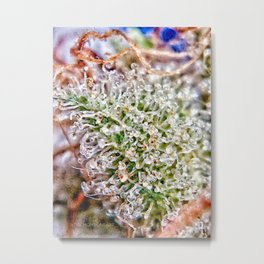 Skywalker OG Kush Strain Frosty Buds Calyxes Trichomes Close Up View Metal Print
