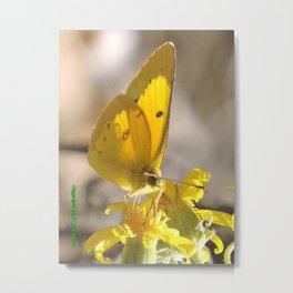 Sulphur Butterfly Imbibing Metal Print