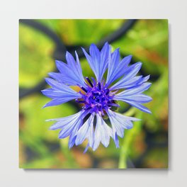 Freed Cornflower Metal Print