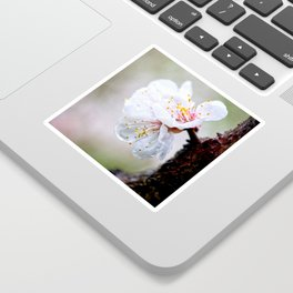 Wet Japanese Apricot Flowers On A Rainy Spring Day Sticker