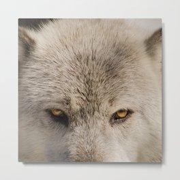 Wolf Eyes Wildlife Photography - Animal Nature Photo Metal Print