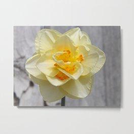 Layered Daffodil Metal Print