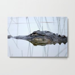Alligator in the Everglades Metal Print