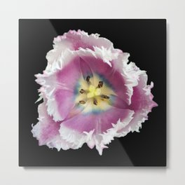 Pink, Yellow and White Tulip Flower 996 Metal Print