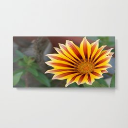 Close Up Tiger Gazania in Red, Gold and Green  Metal Print