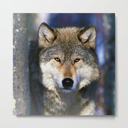 Timber Wolf - Ready to Run - Photography Metal Print