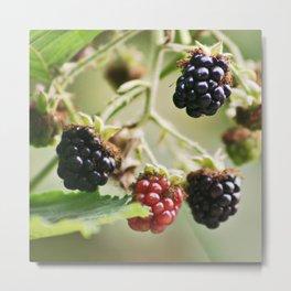 Blackberries Metal Print