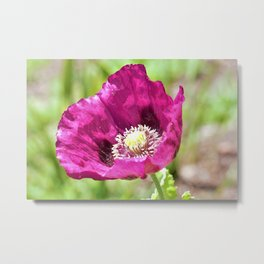 Purple Poppy by Reay of Light Photography Metal Print