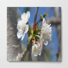 Cherry Blossom In Spring Sunlight Metal Print
