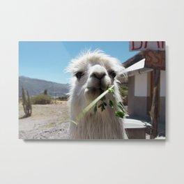 Llama eatin in Peru Metal Print