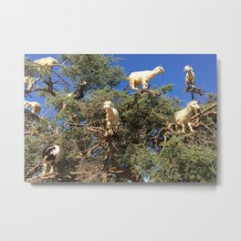 Goats in an argan tree Metal Print