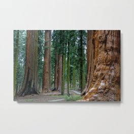 Sequoia Trees, McKinley Grove, California Metal Print