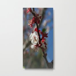 Sunlight Embracing Apricot Blossom Metal Print
