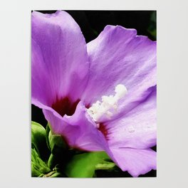 Rose Of Sharon A Summer Bloom Poster