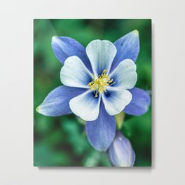 Colorado Columbine // States Flower Close up Purplish Blue Petals White and Yellow Accents Metal Print