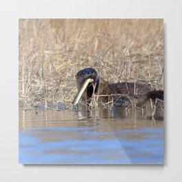 Watercolor Otter 10, Janes Island, Maryland Metal Print