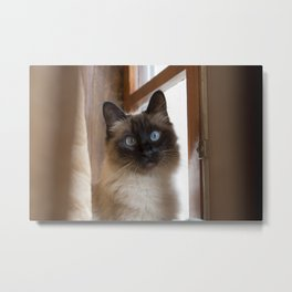 Adorable siamese cat with perfectly round blue eyes looking surprised, next to rustic wooden window. Metal Print