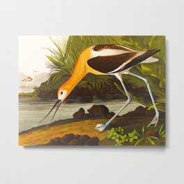 American Avocet John Audubon Vintage Scientific Bird Illustrations Metal Print