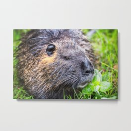 Nutria Myocastor Coypus animal close-up in wild nature in french swamps Metal Print