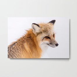 Red Fox in Yellowstone National Park Metal Print