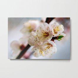Stunning Japanese Apricot Flowers Metal Print