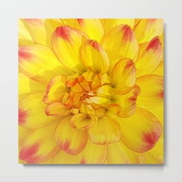 A Yellow Dahlia with Pink tips Close Up Detail Metal Print