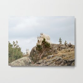 Three Ami-Goats // Scenic Hike Animals Photograph Colorado Wildlife National Park Mountain Goats Metal Print