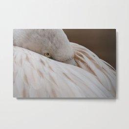 Chilean flamingo resting Metal Print