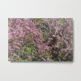 Crabapple Blossoms 11 Metal Print
