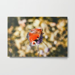 Beautiful european orange Peacock butterfly on mauve flower in autumn Metal Print